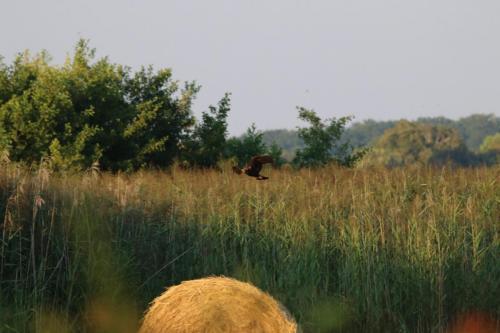 Junge Weihe abfliegend im Billigheimer Bruch